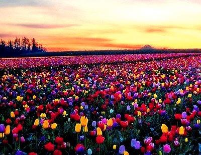 Sunrise Tulips, Woodburn, Oregon