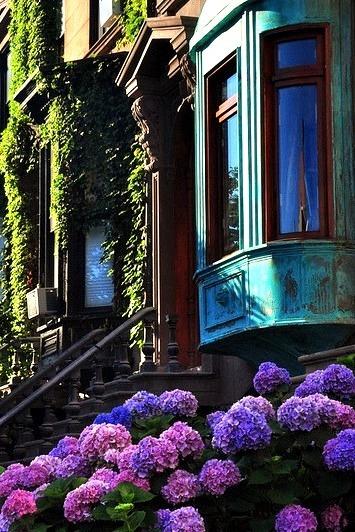 Hydrangea, Brooklyn, New York